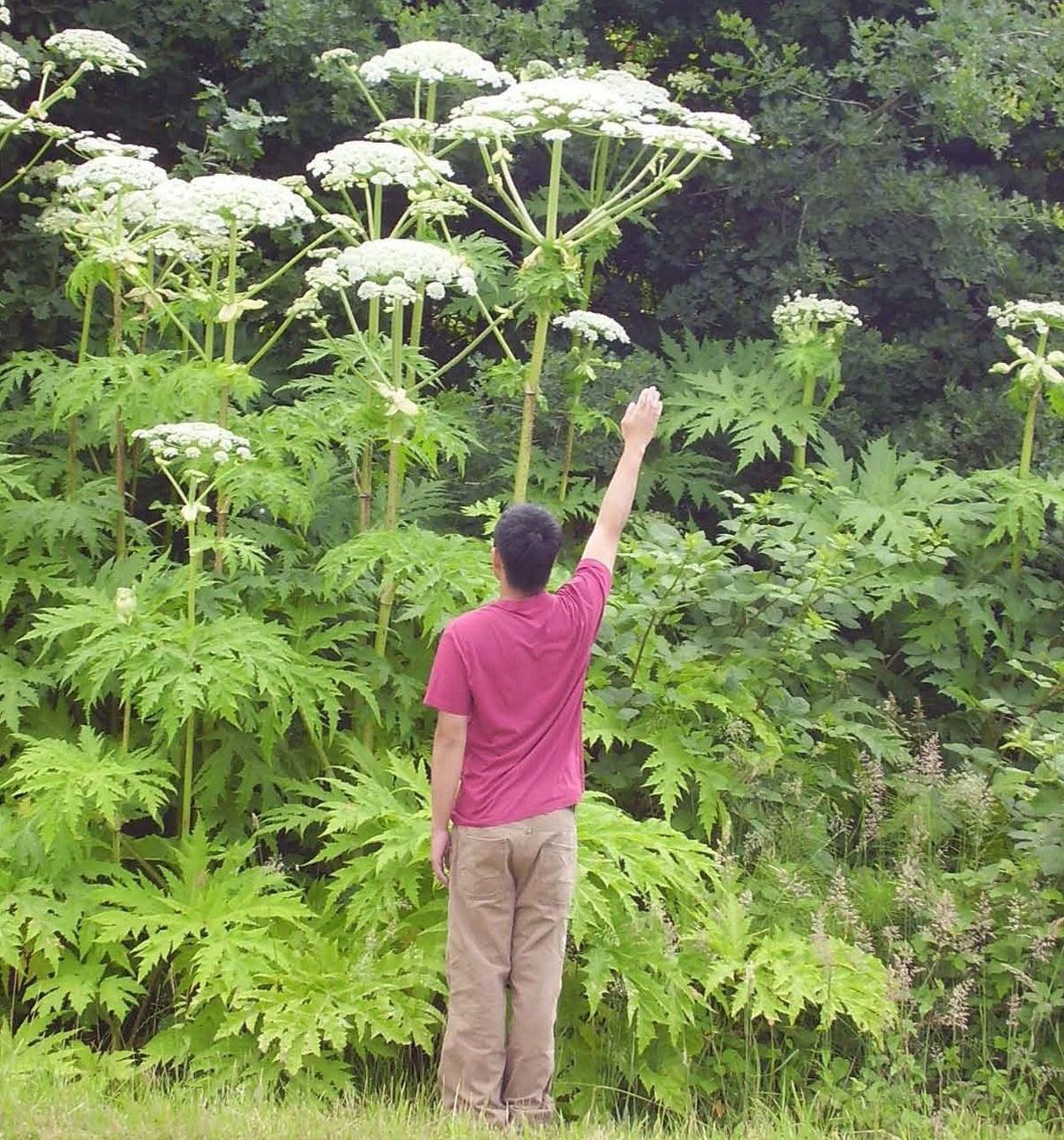 Giant Hogweed - the Unfriendly Giant