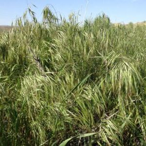 Cheatgrass or Downy brome