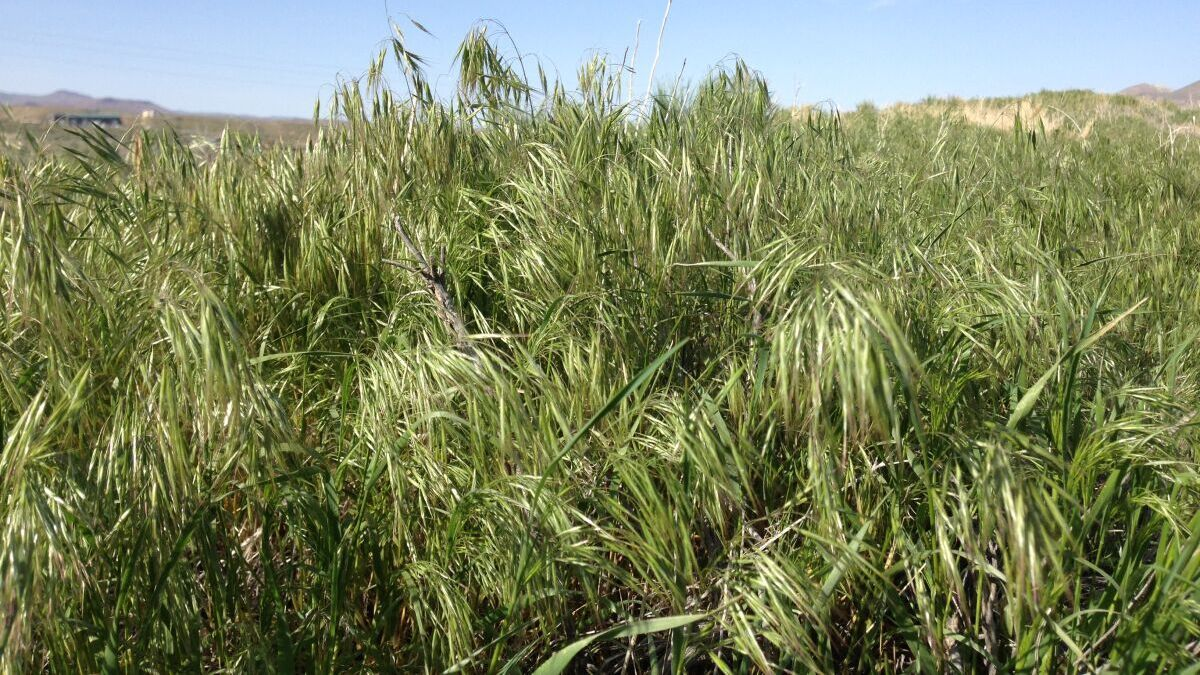 Cheatgrass or Downy brome