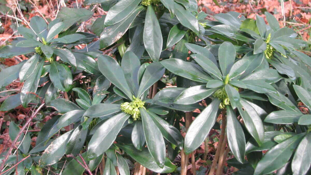 Spurge laurel/Daphne