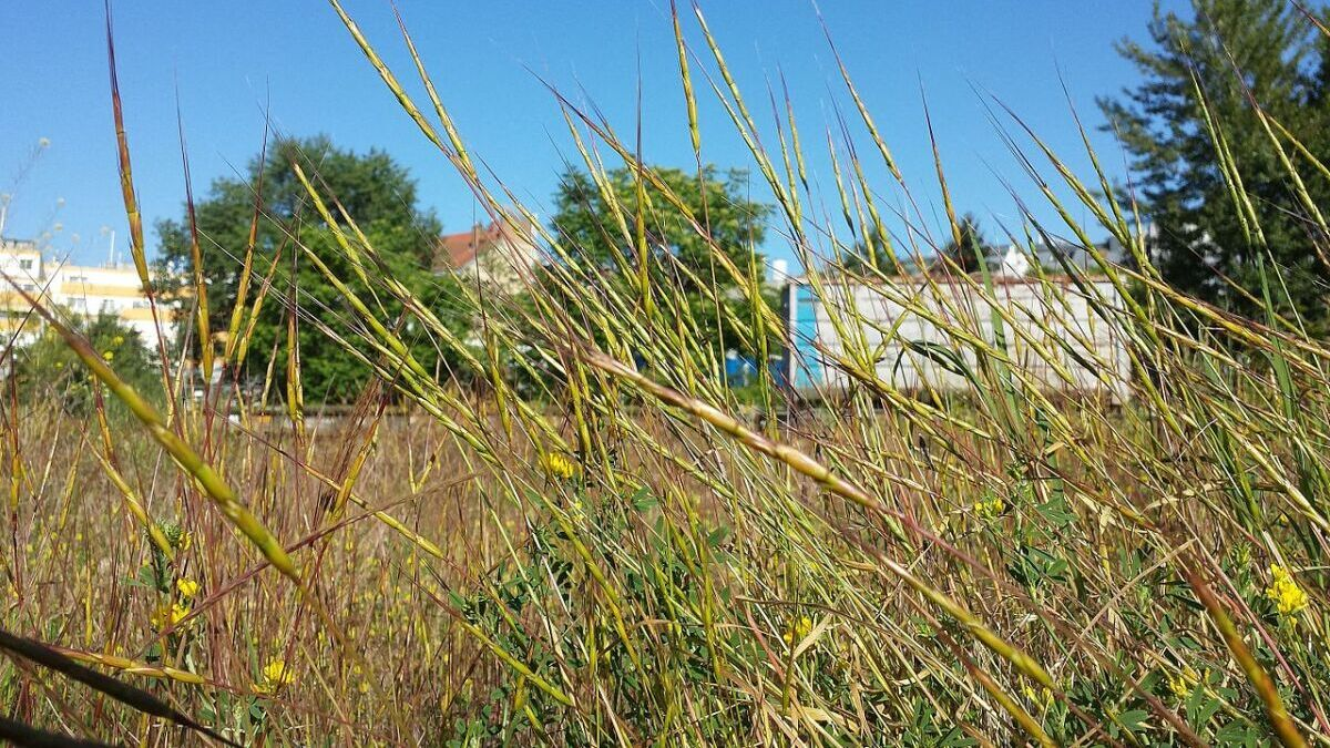 Jointed Goatgrass