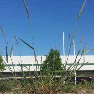 Slender Meadow Foxtail