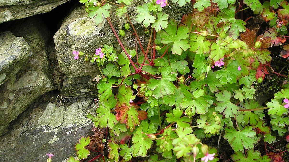 Shiny geranium