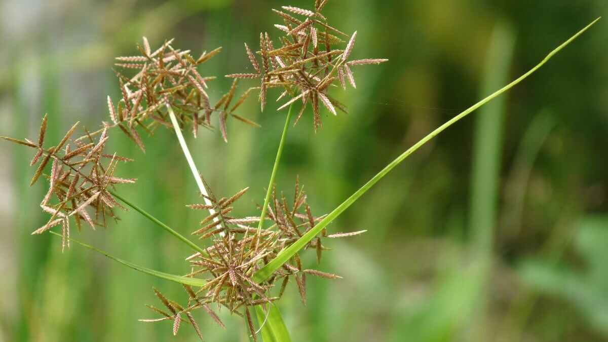 Purple Nutsedge