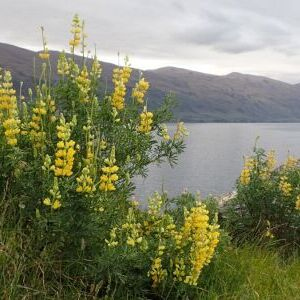 Yellow Bush Lupine