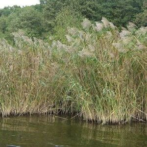 European Common Reed