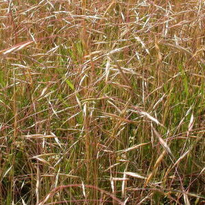 North African Grass