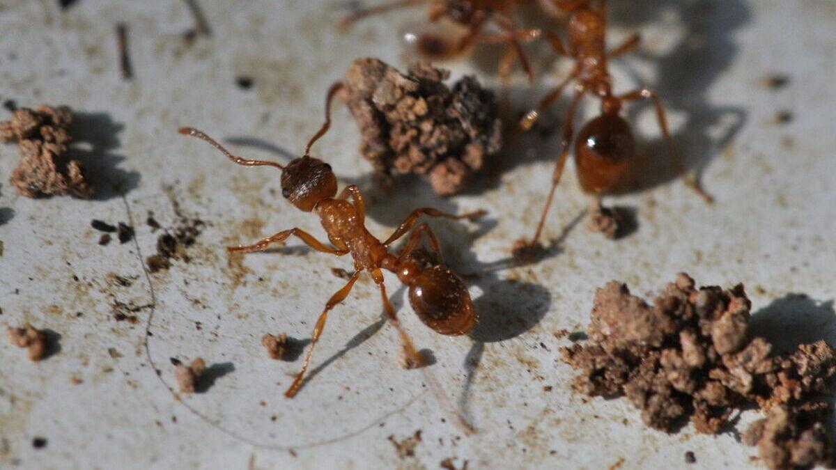 European Fire Ant