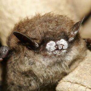 White-Nose Syndrome