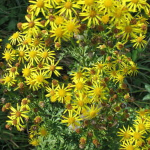 Tansy Ragwort Curbside Pick-up 2021
